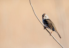 White Crowned Sparrow On A Slender Bare Branch With Out Of Focus Background Grass