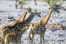 Group Of Giraffes With Baby Standing In Etosha National Park