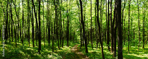 Fotografiet Panoramic view of the beech forest in the spring in the mountains