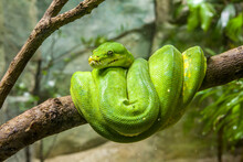 The Green Tree Python (Morelia Viridis) Is A Species Of Snake In The Family Pythonidae.  It Is A Bright Green Snake,  Living Generally In Trees.