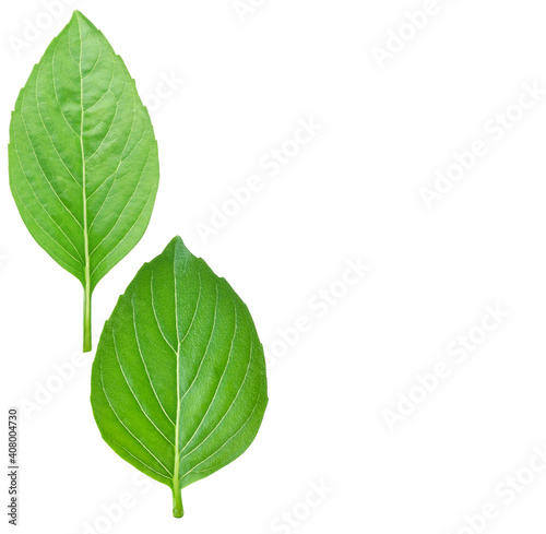 Valokuvatapetti basil leaf isolated on white background