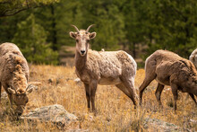 Herd Of Bighorn Sheep In The Colorado Mountains