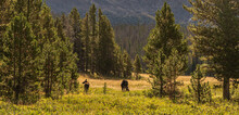 Moose Grazing In Rocky Mountain National Park