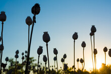 Silhouette Of Ripe Poppies On The Field