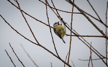 A Blue Tit With A Bud From A Tree, On A Cold Winter Day, The Bird Is Planning To Eat The Bud.