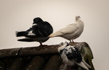 Pigeons And Doves Perched On A Rooftop, With A White Sky Background.