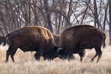 American Bison On The High Plains Of Colorado. Two Bulls Sparing In A Field Of Grass.