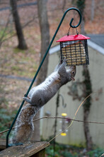 Squirrel Hanging Upside-down Eating From A Suet Bird Feeder