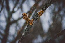 Yellow Fungus And Moss On A Dry Tree Branch On A Gloomy Cloudy Day