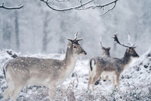Red Deer Stag Resting In Fern On A Frosty Snowy Sunday Winter Morning
