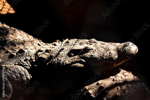 head of a crocodile Fototapet