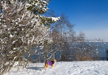Dog With Purple Jacket Under Snow Covered Trees In Tyndale Park At Kempenfelt Bay On Lake Simcoe In Barrie Canada