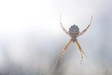 Araña Tigre (argiope Lobata)