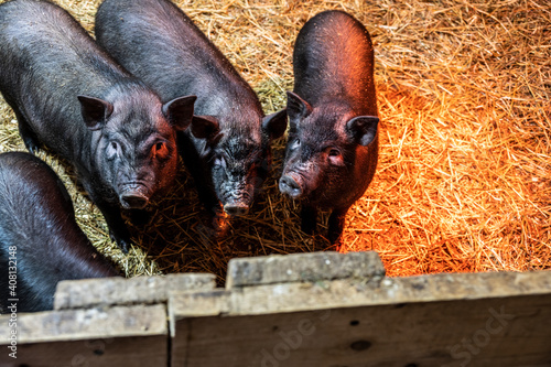 black domestic pigs in an aviary in a warm barn Fototapete