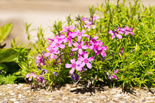 Pink Saponaria Flowers In Rocky Soil In The Sun