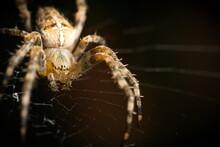 Garden Spider On Web Macro Closeup