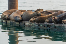 Sea Lions Resting On The Pier