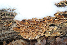Turkey Tail Mushrooms In Snow At Camp Ground Road Woods On A Log In Des Plaines, Illinois