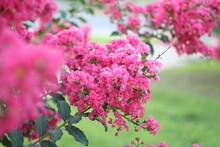 Crepe Myrtle Bloom In The Summertime