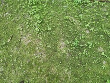 The Green Non-vascular Moss On The Ground.