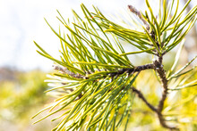 Close Up Of Pine Needles