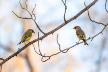 Two Green And Yellow Songbird, The European Greenfinches Sitting On A Branch In Spring.