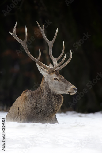 Majestatyczny jeleń jelenia w lesie. Zwierzę w środowisku naturalnym