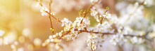 Plums Or Prunes Bloom White Flowers In Early Spring In Nature. Selective Focus. Banner. Flare