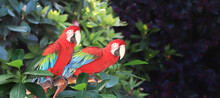 Beautiful Colorful Ara Macao Parrots On A Branch In A Rainforest
