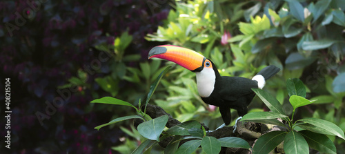 Fototapeta premium Beautiful colorful toucan bird on a branch in a rainforest