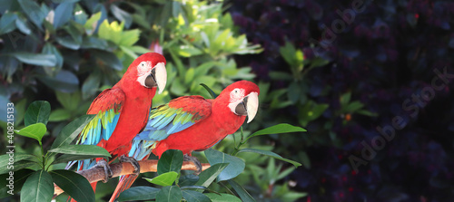 Fotografija Beautiful colorful Ara macao parrots on a branch in a rainforest