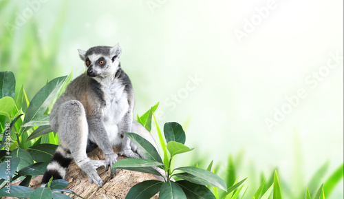 Fototapeta premium Horizontal banner with Ringtailed lemur on a branch in a rainforest