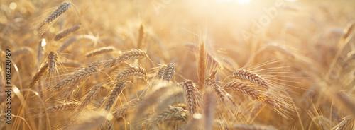 Close up of rye ears, field of rye in a summer day. Sunrise or sunset time - fototapety na wymiar