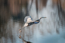 Great Blue Heron Flying Low Over The Water Of A Chesapeake Bay Pond