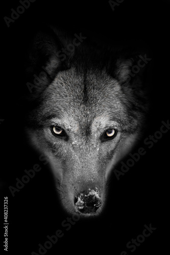 Severe muzzle of a she-wolf full face on a black background with a stern look, Fototapet