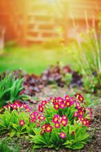 Purple Primrose Flowers Blooming In Sunny Spring Garden