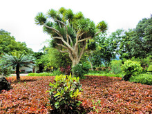 Dragon Tree Also Known As Dracaena Draco Or Drago And Other Plants And Trees  Cycad Palm Also Known As Sago Palm, Codiaum Variegated.  Beautiful Tropical Garden