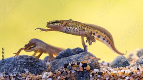 Fototapeta Pair of Palmate newt swimming in natural aquatic habitat