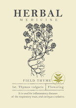 Botanical Illustration Of A Hand-drawn Field Thyme Plant In Retro Style. Vector Banner Or Label For Herbal Medicine, Green Pharmacy Or Gardening. Medicinal Herbs Collection.
