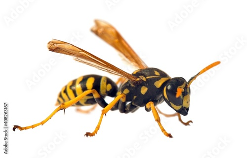 wasp or German yellowjacket isolated on white background Fotobehang