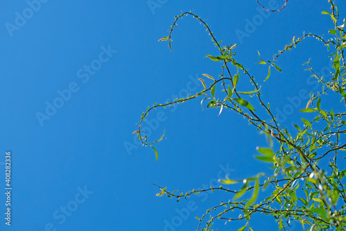 Foto Twisty willow branches against the sky. Spring, place for text