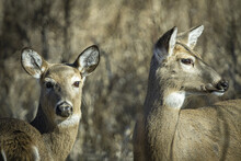 Closeup Pair Of White-tail Doe Grazing In Winter Grasslands