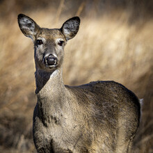 Whitetail Doe Looks At Camera In Winter Grasslands