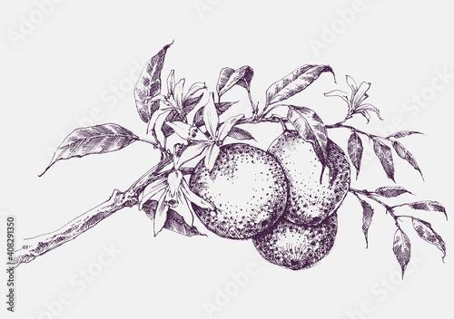 Fototapeta Orange tree branch in bloom, orange fruits and flowers vector hand drawing obraz