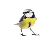 Blue Tit Bird Made As Oil Painting And Isolated On White Background