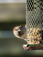 House Sparrow Bird Sitting On An Old Green Birdfeeder Looking At Peanuts And Sunflower Seeds With Garden Fence In The Blurred Background