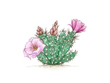 Illustration Hand Drawn Sketch Of Grusonia Cactus With Pink Flower For Garden Decoration.