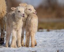 Cute Newborn Lambs On A Farm - Close Up - Early Spring