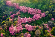 Aerial View Of Pink Cherry Blossom Trees On Mountains.