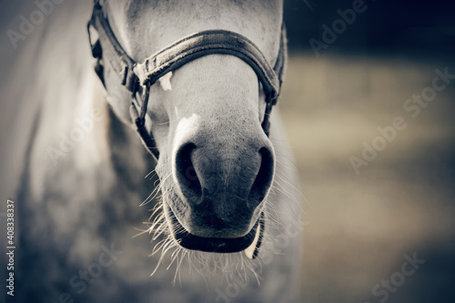 Fotografia The nose of horse in halter in the paddock. Horse muzzle close up